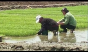 Improving Rice Production in North Korea (DPRK)