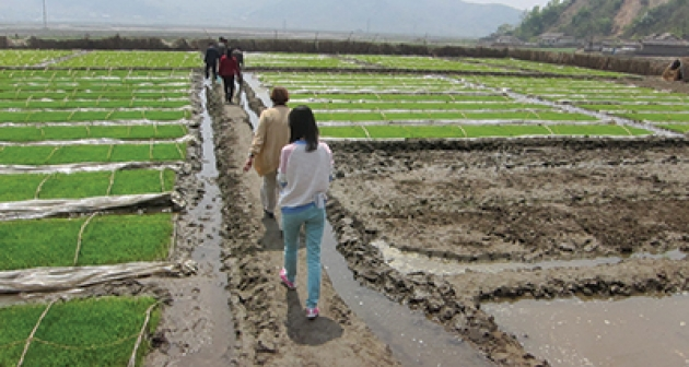 AFSC staff walking between beds of rice seedlings at an AFSC partner farm north of Pyongyang, North Korea.