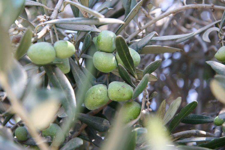 Olives on an olive tree near Jerusalem.