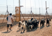 Goats in Palestine