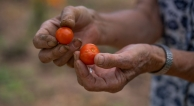 Farmer's Hands Holding Two Cherry Tomatoes