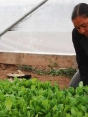 Woman leaning down, working with lettuce planted in a hoop house.